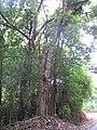 Starr-090702-2142-Syzygium cumini-habit-Hana Hwy-Maui (24337975924).jpg