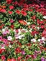 Starr-090714-2749-Impatiens walleriana-flowers mixed colors-Kapalua-Maui (24342825343).jpg