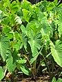 Starr-090720-3067-Colocasia esculenta-habit in loi-Waiehu-Maui (24602569159).jpg