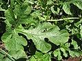 Starr-091108-9410-Citrullus lanatus-leaf-Olinda-Maui (24895981831).jpg