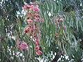 Starr-091115-1128-Eucalyptus sideroxylon-flowers and leaves-Olinda-Maui (24694416840).jpg