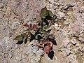 Starr-111005-0680-Rubus niveus-young plants in lava-Polipoli-Maui (25025306241).jpg