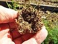 Starr-131216-2783-Daucus carota subsp sativus-seedhead-Hawea Pl Olinda-Maui (24860817649).jpg