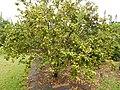 Starr-140925-1983-Fortunella japonica-Meiwa fruiting habit-Pali o Waipio Huelo-Maui (25220308076).jpg