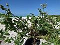 Starr-150328-0730-Sonchus oleraceus-habit-Southwest Eastern Island-Midway Atoll (25269066615).jpg