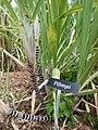 Starr-160912-0574-Saccharum officinarum-Hawaiian variety Pilimai-Maui Nui Botanical Garden Kahului-Maui (29042222204).jpg