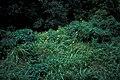 Starr-980601-4330-Tithonia diversifolia-habit-Kepaniwai-Maui (24415049662).jpg