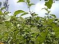 Starr 010425-0093 Solanum torvum.jpg