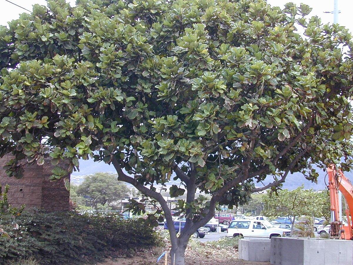 Ficus lyrata - Wikispecies