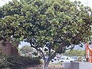 Starr 010820-0008 Ficus lyrata.jpg
