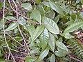 Starr 020615-0002 Streblus pendulinus.jpg