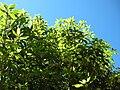 Starr 050216-4049 Pittosporum undulatum.jpg