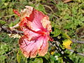Starr 070111-3213 Hibiscus rosa-sinensis.jpg