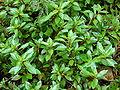 Starr 070515-7066 Ludwigia palustris.jpg