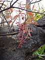 Starr 070908-9216 Eucalyptus robusta.jpg