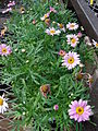 Starr 080103-1307 Argyranthemum frutescens.jpg