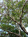 Starr 080417-4087 Jacaranda mimosifolia.jpg