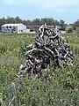 Starr 080602-5531 Casuarina equisetifolia.jpg