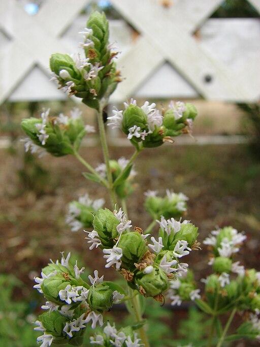 Origanum majorana o Thymus majorana