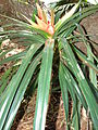 Starr 080917-9952 Freycinetia arborea.jpg
