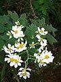 Starr 081230-0645 Montanoa hibiscifolia.jpg