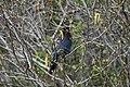 Stellers Jay (Cyanocitta Stelleri) (9357682875).jpg