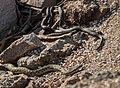Steppe rat snakes in stones.jpg