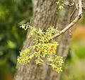 Sterculia murex02.jpg