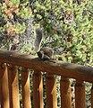 Steve the Squirrel, Grand Lake, CO 8-28-12 (8003991320).jpg