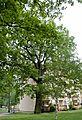 Stieleiche - Goebelstraße 94.jpg