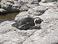 Stony Point Penguin Colony - panoramio (17).jpg