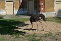Struisvogel in ZOO Antwerpen.jpg