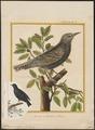 Sturnus vulgaris - 1700-1880 - Print - Iconographia Zoologica - Special Collections University of Amsterdam - UBA01 IZ15800075.tif