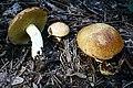 Suillus granulatus 170918w.JPG