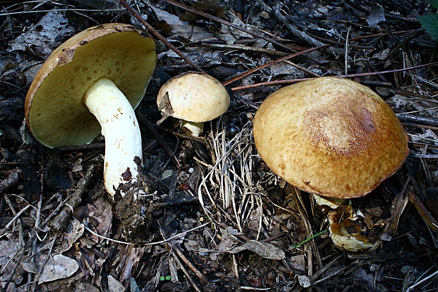Suillus granulatus in a wood near Allonnes, France.