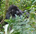 Susa group, mountain gorillas - Flickr - Dave Proffer (22).jpg