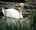Swan family (26927590363).jpg