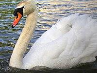 Swanontheriver.jpg