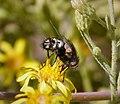 Tachinidae (40058096191).jpg