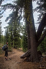 A woman with a backpack stands on a hiking trail, next to a tree
