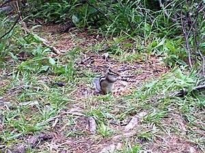 Siberian chipmunk - Tamias sibiricus near Lake Kuyguk