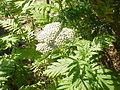 Tanacetum macrophyllum-Stueber2.jpg