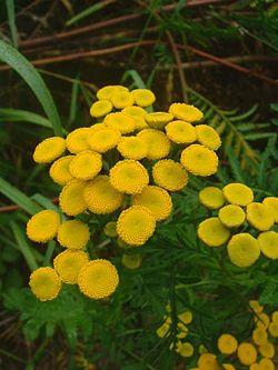 Inflorescences de Tanacetum vulgare