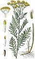 Tanacetum vulgare L - plate 179 - MAS Atl Pl France 2 183 no-description.jpg