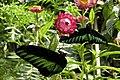 Tanah Rata, Malaysia, Butterflies.jpg