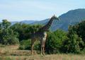 Tanzania giraffe.png