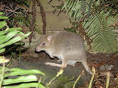 Tasmanian Bettong (female).JPG
