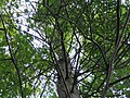 Taxodium distichum 0zz.jpg