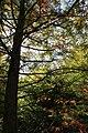 Taxodium distichum PAN sun.JPG