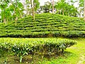 Tea garden in Bahubal Upazila, Habiganj, Bangladesh. (August). .jpg